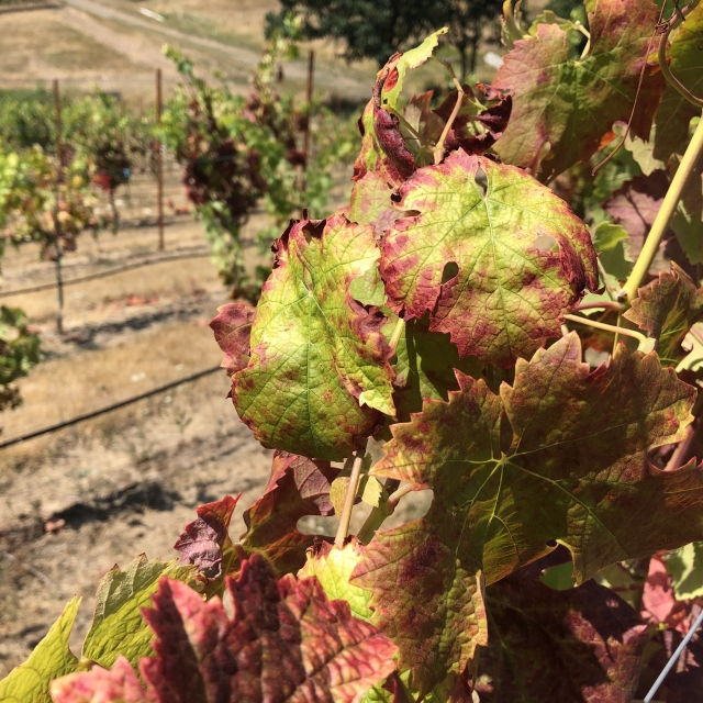 Cabernet Franc vines showing classic symptoms of Red Blotch Disease